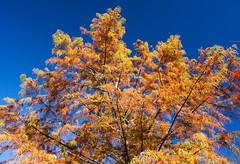 bald_cypress_8937 (McConnell Springs) Tags: mcconnellspringspark lexingtonky lexingtonparksrecreation tree leaves baldcypress fall