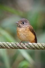 Ferruginous Flycatcher (Samuel BL Ong) Tags: birdsofmalaysia flycatchers ferruginousflycatcher bukit tinggi nature wildlife
