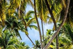 palm trees & a great day (-gregg-) Tags: palm trees sky bahamas vacation