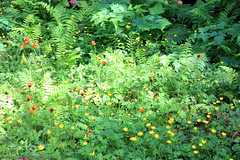 Meadow with Hawkweed & Buttercup (gerry.bates) Tags: flora flowers wildflowers hawkweed orange meadow forest mountainous buttercup fern