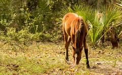 Horse (AubreyCS) Tags: horses wildhorses pentax pentaxk3 cumberlandisland cumberland georgia animals wildlife mammals