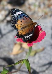 Painted Lady butterfly near Tsukimiya (Geoff Buck) Tags: japan butterfly paintedlady insect