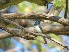 Myiagra rubecula 4 (barryaceae) Tags: barraba nsw australia ausbird ausbirds plumthorpetravellingstockreserve leaden flycatcher myiagra rubecula