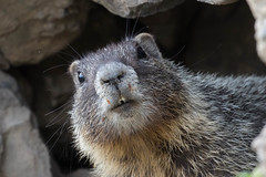 Yellow-bellied marmot (Marmota flaviventris) (RonW's Nature Photography) Tags: yellowbellied marmot marmotaflaviventris marmota flaviventris mammal mammals usa us unitesstates yellowstonenp yellowstone animal wildlife nature canon 7dii 100400ii