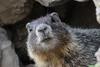Yellow-bellied marmot (Marmota flaviventris) (RonW's Nature Photography (thanks for over 1 milli) Tags: yellowbellied marmot marmotaflaviventris marmota flaviventris mammal mammals northamerica usa us unitedstates yellowstonenp yellowstone animal wildlife nature canon 7dii 100400ii
