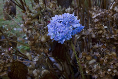 Defiant Against Winter (brucetopher) Tags: hydrangea blue bloom flower flowers latebloomer colorful standingout outstanding different unique color garden gardening globalwarming warm weather unseasonable fall autumn