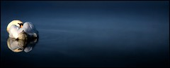 Swan song - Lana Del Rey (Janusz Kudlak) Tags: greatphotographers swan myniu pastuch best water charliesgrouplevel1 charliesgrouplevel2 charliesgrouplevel3 charliesgrouplevel4 charliesgrouplevel5 charliesgrouplevel6 charliesgrouplevel7 charliesgroupsilvermemberaward charlie'sgrouphalloffame charlie'sgroupbronzelevelmemberaward ilovemywife agnieszka charliesgroupgoldmemberaward charlie'sgrouplevelgold