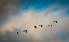 Take Off! (Dr. Farnsworth) Tags: birds canadiangeese large flying formation wastewater treatment clouds blue sky muskegon mi michigan fall december2016
