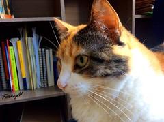Hade. (FerneyMaldonadoReatiga) Tags: animals feline felinos gatos gato cats cat pet