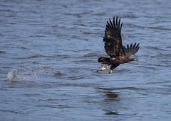 juvy Bald Eagle with fish (jimbobphoto) Tags: eagle baldeagle babybird rive river susquehanna maryland fish flight catch splash
