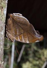Historis odius dious (K. Zyskowski and Y. Bereshpolova) Tags: nymphalidae nymphalinae historis odius dious butterfly guyana