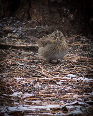 Lincoln's Sparrow (Wild Birdy) Tags: mn minnesota kabekona lake brush pile wood sticks ground bird cute feathers lincoln lincolns sparrow melospiza lincolnii adorable rare migratory unusual late december north northern usa aba snow hubbard