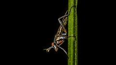 Careful now... (chandra.nitin) Tags: animal deerpark diptera fly flydayfriday macro nature sciomyzidae sepedonsp newdelhi delhi india