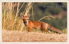 ZORRO ROJO (Vulpes vulpes) (JORGE AMAYA BUSTAMANTE - JAKKEMATE) Tags: foxy zorro comun rojo vulpes nikon d500 sigma 150500 jakkemate jorge amaya bustamante wildlife photonature mamifero