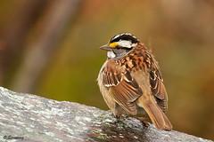 White-throated Sparrow - Zonotrichia albicollis (odd.steinveg) Tags: whitethroatedsparrow zonotrichiaalbicollis bird birdwacher