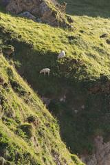 Sheep Living on the edge (ramon_harkema) Tags: ocean uk cliff nature wales coast risk sheep natuur zee cliffs engeland kust klif schaap thrillseeker livingontheedge kliffen