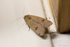 20150825-_N9A2502.jpg (whereamihere) Tags: moth places chebeague insectsandspiders largeyellowunderwingnoctuapronuba 1unknownmoth