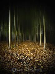 Preludio de otoo (Cespejos) Tags: autumn trees espaa naturaleza nature leaves forest landscape hojas spain nikon arboles paisaje bosque otoo len poplars chopos naturalezacautivadora