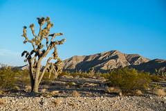 Joshua Tree (Gentilcore) Tags: nevada joshuatree mojave agavaceae yuccabrevifolia liliacea