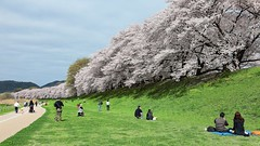 拿出飯糰慢慢啃  ~ Hanami (Cherry-blossom viewing )  @ 背割堤 Sewaritei  Embankment  京都府八幡市 ~ (PS兔~兔兔兔~) Tags: road park pink flowers people flower colour tree green nature public beautiful beauty grass rose japan rural garden season cherry asian outdoors foot japanese countryside petals spring saturated alley scenery kyoto couple asia branch purple awakening blossom landscaping path background country lawn vivid scene row fresh walkway 京都 bloom april 桜 日本 romantic environment sakura cherryblossoms winding relaxation avenue pure footpath idyllic japaneseculture springtime 櫻花 yawata 春 landscaped さくら 桜並木 木津川 八幡市 背割堤 淀川河川公園