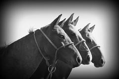 Aporreados (Eduardo Amorim) Tags: brazil horses horse southamerica brasil criollo caballo cheval caballos cavalos pelotas pferde cavalli cavallo cavalo pferd riograndedosul pampa hest hevonen campanha brsil chevaux  amricadosul fronteira hst  amriquedusud   sudamrica suramrica amricadelsur  sdamerika crioulo caballoscriollos criollos   costadoce americadelsud  crioulos cavalocrioulo americameridionale caballocriollo eduardoamorim cavaloscrioulos