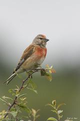 DSC_4372-2 (P2 New) Tags: france juin bretagne date animaux morbihan pays oiseaux fringillidae 2015 sarzeau linottemlodieuse passriformes chateaudesarzeau