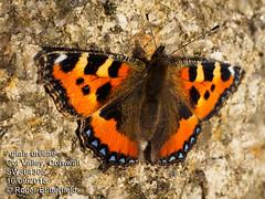Small Tortoiseshell (Roger B.) Tags: butterfly cornwall unitedkingdom aglaisurticae smalltortoiseshell stjust cotvalley