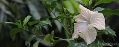 Hibiscus Using Nikon Coolpix P600 (Ganesh @bantakal.com) Tags: camera india blur flower green asian leaf nikon zoom background hibiscus coolpix bloom karnataka p600