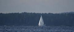Sailing (Wanha-Erkki,  ) Tags: blue lake sailing ripple sail distant bluish sailingboat jrvi saari purjehdus kallavesi purjehtiminen purjehtia sinertv vriperspektiivi vreily hietasalo etinen