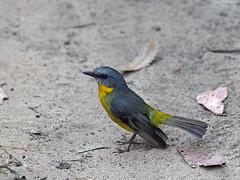 Eastern Yellow Robin (Vas Smilevski) Tags: bird robin birds animals wildlife australia bluemountains robins nsw australianbirds easternyellowrobin eopsaltriaaustralis mc14 olympusomdem1 mzuiko40150mmf28pro