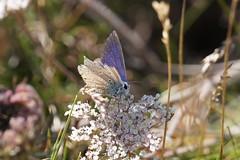 Common Blue (male) / Argus Bleu (Dr Wood's Wildlife Photos) Tags: butterfly commonblue polyommatusicarus caro icaro bluebutterfly hauhechelbluling argusbleu icarodedospuntos
