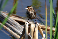 Cosy on the reeds (Natimages) Tags: reeds birding marsh cosy smallbird da3004 pentaxk5