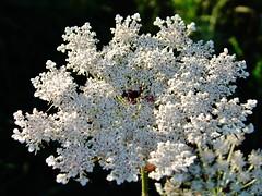 Carotte sauvage (L'herbier en photos) Tags: wild france carrot allier silvestre carota auvergne zanahoria carotte sauvage daucus umbelliferae apiaceae ombellifres trteau apiaces