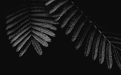 Albizia (matejpaluh) Tags: light blackandwhite bw white plant black tree art nature monochrome beautiful leaves canon dark 50mm fineart croatia albizia 550d vsco canon550d vscofilm
