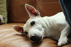 """Jack Russell Terrier Dog • <a style=""""font-size:0.8em;"""" href=""""http://www.flickr.com/photos/31682982@N03/22336238340/"""" target=""""_blank"""">View on Flickr</a>"""
