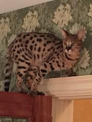 IMG_0859 (Pogniforous1) Tags: cat maine savannah paka islesboro