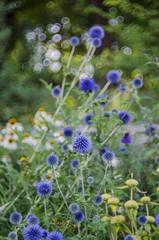 Distel (izzieLiving) Tags: bokeh sommer westpark helios distel blüten
