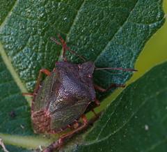 DSC02164_edited (François wry) Tags: macro vert contraste feuille figuier carapace punaise rochecorbon