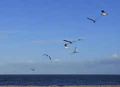 A scatter of gulls on a bright November day (Martellotower) Tags: gulls scatter shore