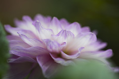 A beautiful thing is never perfect. (.:heartw|sh*:.) Tags: dahlia flower singapore purple macroflowers gardensbythebay
