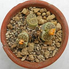 Lithops bromfieldii var. mennellii. [pale selection] (2) (Succulents Love by Pasquale Ruocco (stabiae)) Tags: southafrica succulent lithops mesembryanthemum namibia mimicry stabiae mimetismo piantegrasse aizoaceae succulente mesembryanthemaceae cactusco mesembs fulviceps floweringstones sassifioriti pasqualeruocco forumcactusco suculentslove