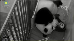Bei-No matter what move I make, Mom's got a counter move (partipersian) Tags: pandas meixiang pandacub beibei