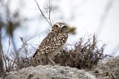 Burrowing Owl (Critter Seeker) Tags: bird nature birds animal animals outdoors wildlife birding aruba owl ornithology burrowingowl