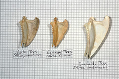 Comparison Tern (JRochester) Tags: skeleton sandwich arctic bones bone common comparison tern sternum