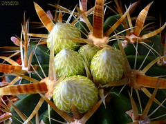 Ferocactus Latispinus var flavispinus 1 (Nyxtofulakas) Tags: cactus plant flower nature spines blooming ferocactus latispinus flavispinus