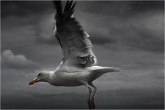 Seagull_002 (cees van gastel) Tags: seagulls birds vogels natuur vliegen zeemeeuwen ceesvangastel canoneos40d
