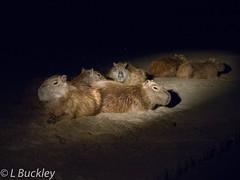 186_20160820_Tambopata_em10_323 (Linenlynn) Tags: peru tambopata capybara jungle night rainforest