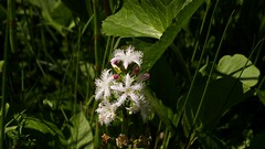Fieberklee in Blte (franzopitz) Tags: hddelbachtal eifel sumpf bergland schleiden nsg feuchtwiese selten