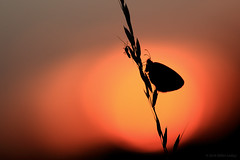 Together (ildikólaskay) Tags: sonnenuntergang naplemente lepke butterfly papillon falter schmetterling hungary m42 manuallens insect insekt insecte rovar farfalla mariposa