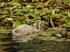 Lake in Queens Park (Lesley A Butler) Tags: australia perth wa queenspark cygnet blackswan